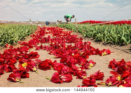 Farmers work on tulip field. Tulip bulb field with red flowers on soil after harvest.