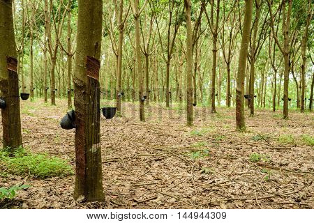 Rubber Tree Plantation In North Of Thailand.