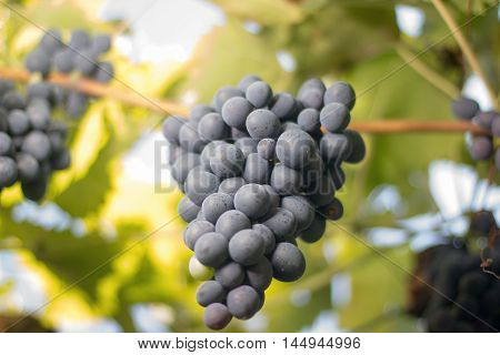 Bunches of red wine grapes growing in Italian fields. Close up view of fresh red wine grape. Bunches of red wine grapes hanging on the wine in late afternoon sun. Ripe red grape.