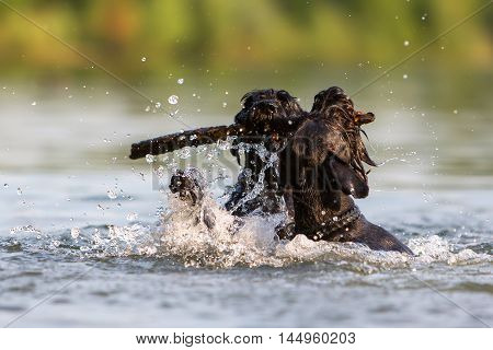 Two Standard Schnauzer Dogs In The Water