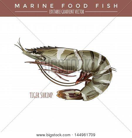 Tigerl Shrimp illustration. Marine food fish, editable gradient vector