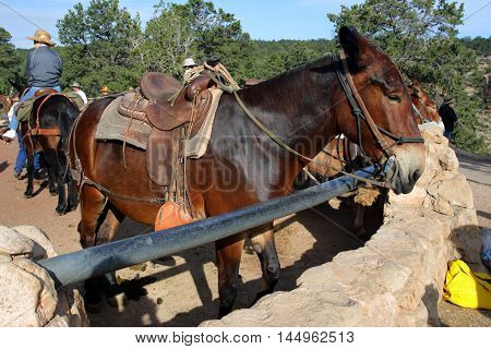 Mule At The Grand Canyon National Park..