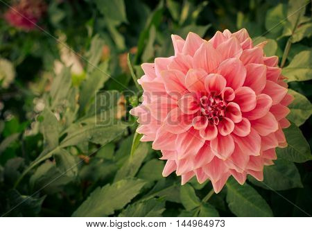 Colorful dahlia flower pink in autumn garden, toned