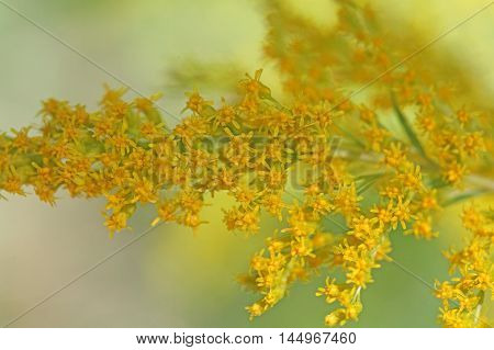 Flowers of a Canada goldenrod (Solidago Canadensis)