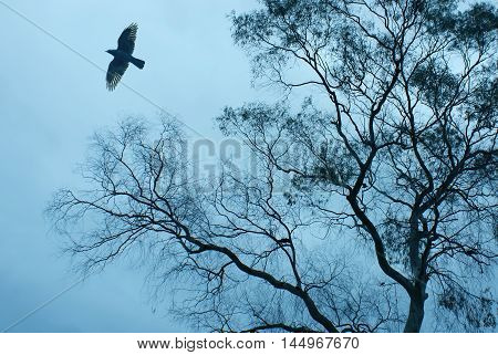 Big black crow and bare tree branches silhouette