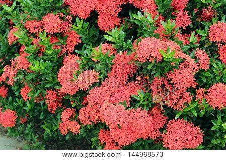Chinese Ixora Flower