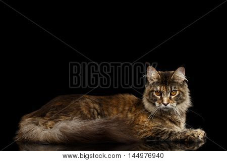 Adorable Maine Coon Cat Lying and Looks Gaze Isolated on Black Background