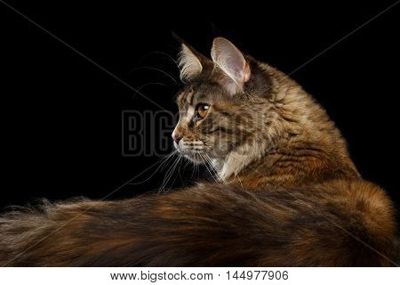 Closeup Portrait of Maine Coon Cat Head in Profile view with Furry Tail Isolated on Black Background