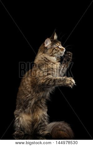 Playful Tabby Maine Coon Cat Sitting on Hind Legs and Raising up Paws Isolated on Black Background