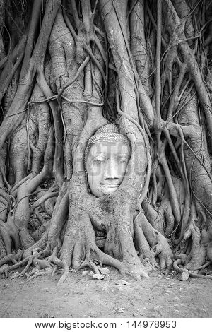 Head of Buddha statue in the tree roots at Wat Mahathat temple Ayutthaya Thailand. Black and White Vertical