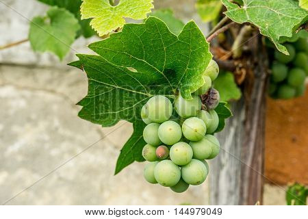 Grape clusters growing up the hot wall