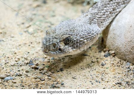 Close up of Western diamond backed Rattle snake