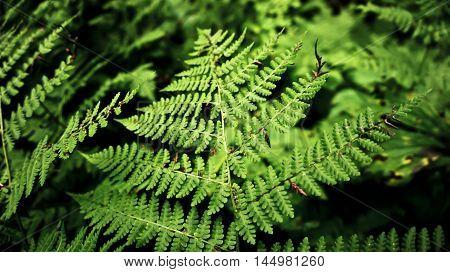 bracken, fern branch, green ferns, carved leaf, macro shot