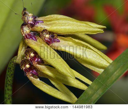 Golden Bulbophyllum Orchid - Bulbophyllum auratum Epiphyte from Thailand Malaysia Borneo Sumatra and the Philippines