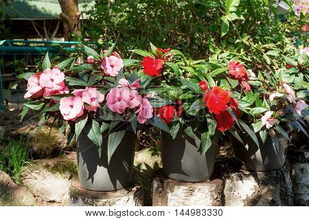 Red New Guinea Impatiens Flowers In Pots