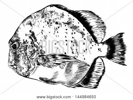 Sketch of hand drawn fish. Vector illustration EPS