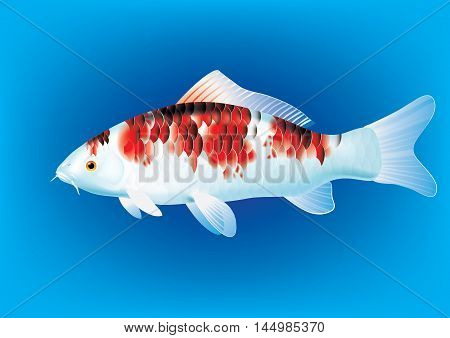 Vector illustration of koi carp breed Koromo