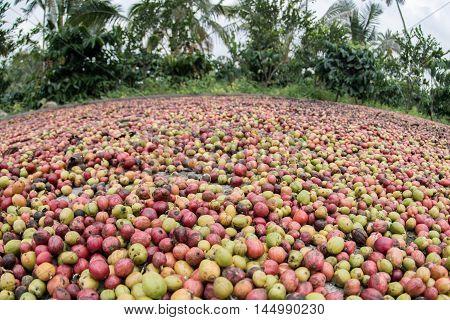 Harvested Mature Coffee Seeds Of Indonesia Bali Island