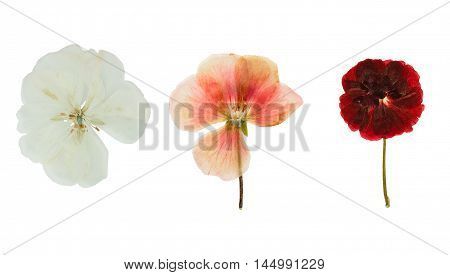 Pressed and dried delicate transparent flowers geranium (pelargonium). Isolated on white background. For use in scrapbooking floristry (oshibana) or herbarium.