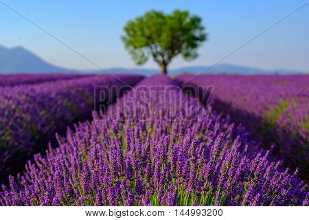 Lavender field at plateau Valensole, Provence, France. Focus to foreground