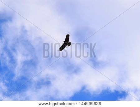 buzzard bird of prey in flight sky summer background