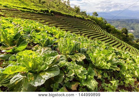 Closeup of young Kohlrabi or German turnip plants cultivated in the fertile soil of a small organic vegetable nursery with mountains as a background at Mon Jam Chiang Mai