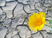 stock photo of anza  - California desert sunflower above parched cracked soil in Anza - JPG