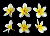 image of six-petaled  - Set of six frangipanis flowers on black background - JPG