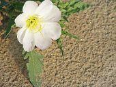 pic of anza  - Single California Desert Primrose on a sand dune - JPG