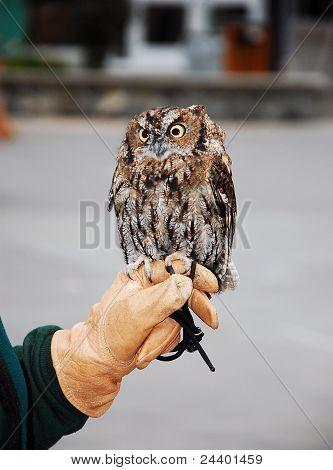 Little Brown Screech Owl