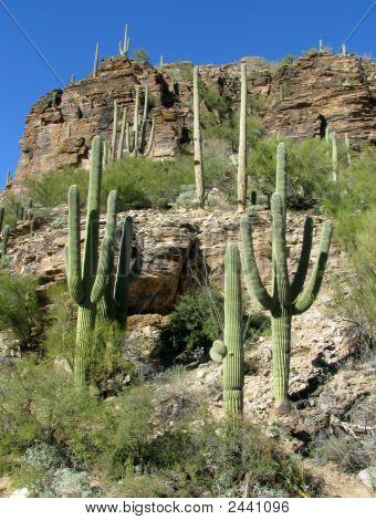Sabino Canyon Saguaro Cactus