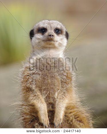 Meerkat looking at camera