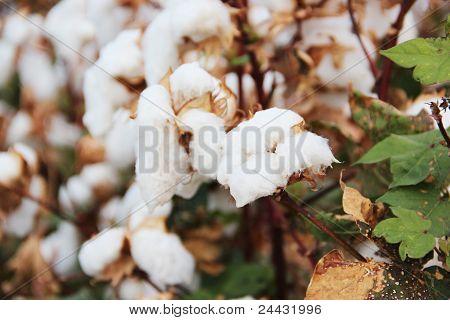 Cotton Crops