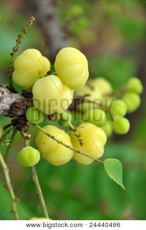 Otaheite Gooseberry