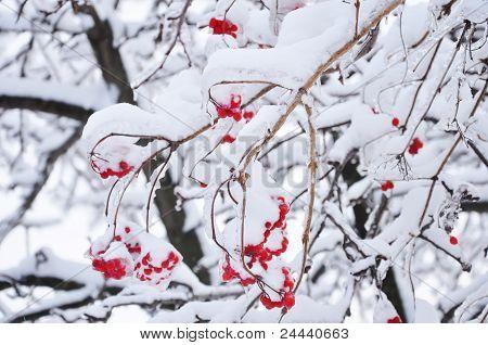 Snow Covered Viburnum