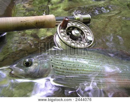 Grayling On Fly