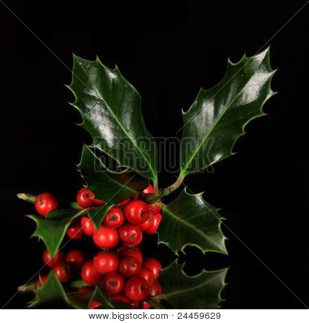 Chrostmas holly branch over black