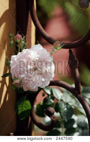 Tea Rose On A Wrought Iron Gate
