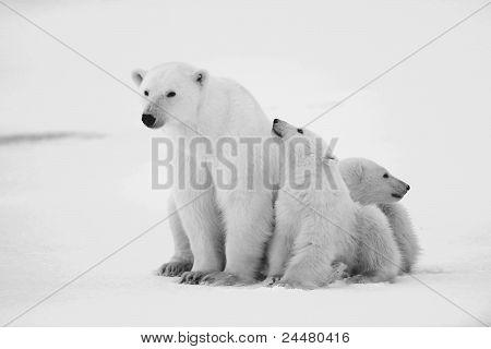 Polar sie ertragen mit jungen.