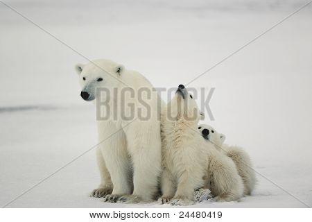 Polar Bärin mit jungen.