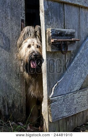 Cute Briard Dog Peeking Around Barn Door
