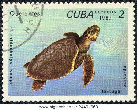 Atlantic Ridley Sea Turtle