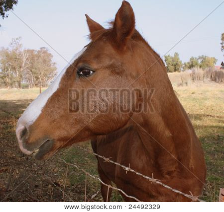 Beautiful Quarterhorse