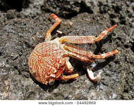 Rock Crab Molt