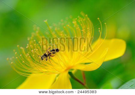 Biene auf Blumen.