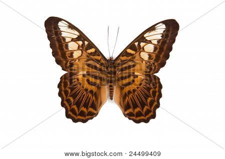 Brown And Yellow Butterfly Parthenos Silvia Brunnea