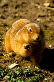 picture of gopher  - A gopher is standing on the ground - JPG