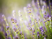 Beautiful Detail Of Scented Lavender Flowers Field Perfect Radiant Orchid Color In Provence France poster