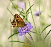 picture of gatekeeper  - Gatekeeper Butterfly showing underwing - JPG