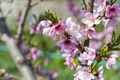 Cherry Tree Branch Bud Blossom Background As Beautiful Spring Flower Blooming Season Concept. Bloomi poster